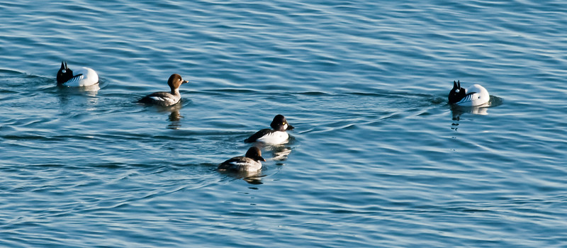 Common Goldeneye Drakes And Hens Courting