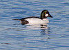 Common Goldeneye duck drake side view, close up, Phippsburg, Maine