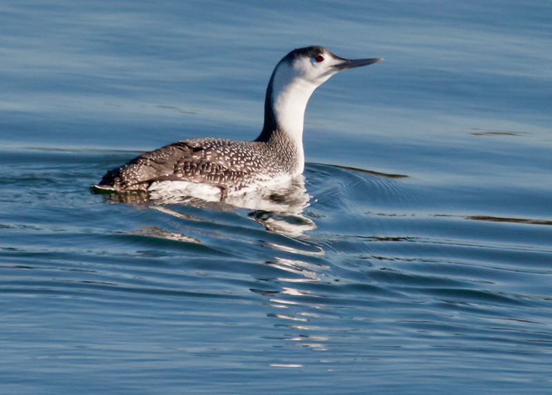Red throated loon, non breeding plumage, close up, PHippsburg, Maine