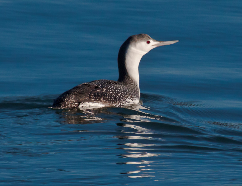 Red throated loon non breeding plumage Phippsburg, Maine Totman cove