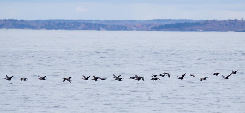 Double-Crested Cormorants In Flight, migratory flock, Casco Bay, Maine