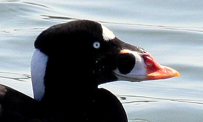 Surf Scoter, also called a Skunk Head for the white stripe on its head, Maine winter shore bird with colorful bill