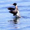 Red-Breasted Merganser, Drake Shaking Off Seaweed