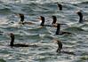 Double-Crested Cormorant Flotilla