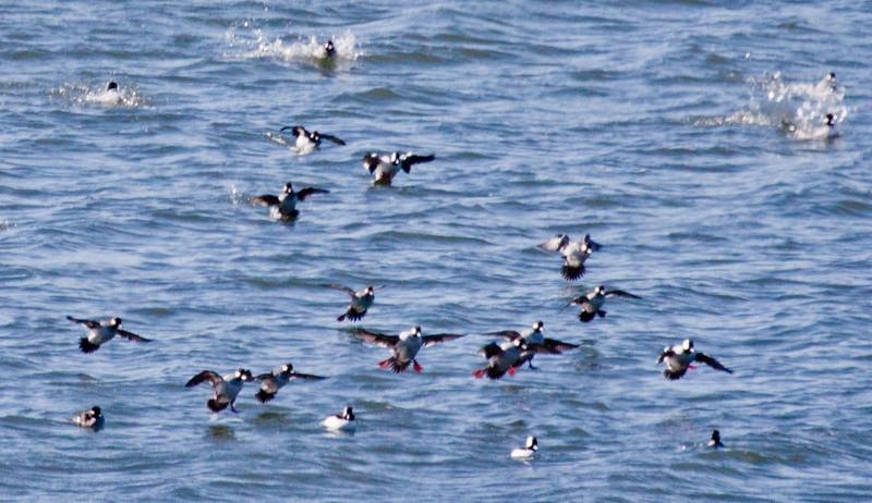 Bufflehead duck flock coming in for a landing, flight, Phippsburg, Maine