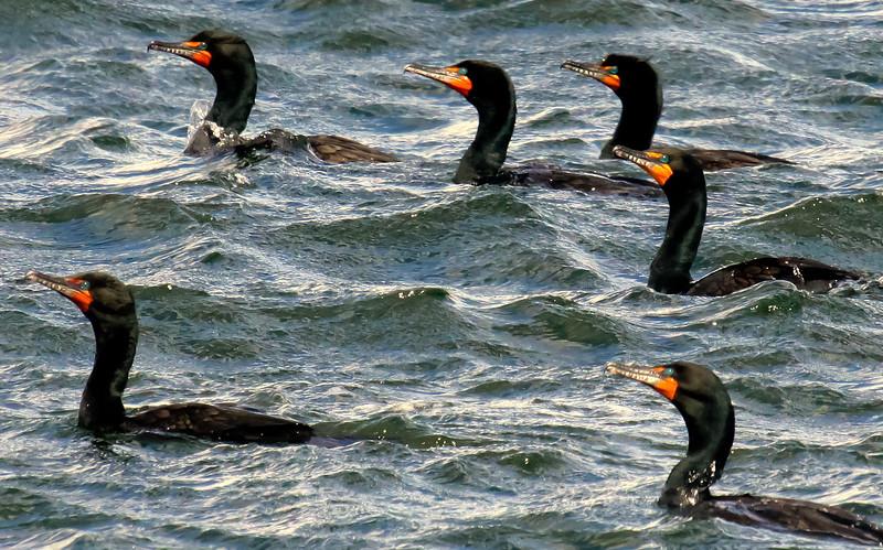 flock of Double Crested cormorants fishing, Kennebec River, Popham, Phippsburg, Maine