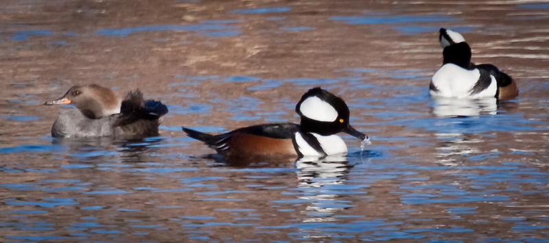 Hooded Merganser Hen And Drakes, Breeding Plumage, drake in middle of frame is eating a sand lance, the one on the right is preening