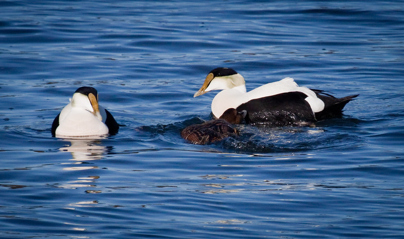 Common Atlantic Eider Drakes