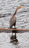 Double Crested Cormorant perched on log, rear view, right facing, orange bill, neck outstretched, feather detail, standing, Winnegance Lake, Phippsburg, Maine, summer diving bird