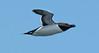 Razorbill in flight, Matinicus Rock, Maine June