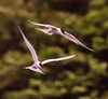 Common Tern duet, flight