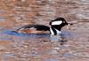 Hooded Merganser Drake eating a Crab, Breeding Plumage