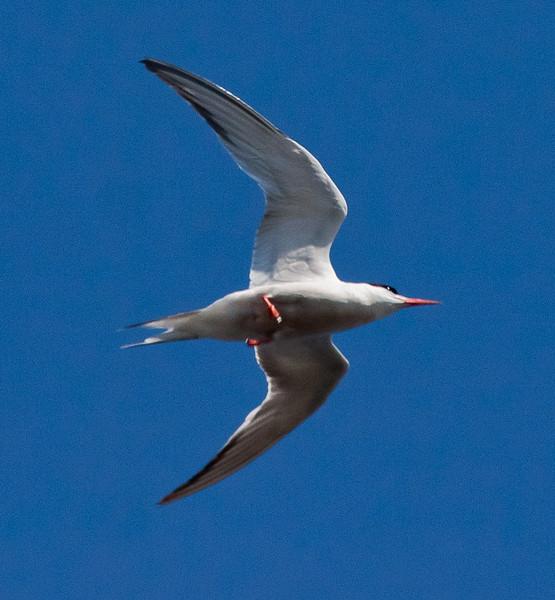 Common tern in flight, Phippsburg Maine