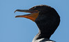 Double Crested cormorant, also called a Shag, close up head shot