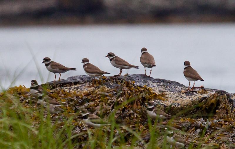 Semi Palmated plovers, migratory flock, Totman Cove Preserve, Phippsburg, Maine