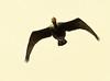 Double-Crested Cormorant In Flight