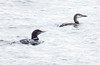 Yellow Billed Loon And Common Loon