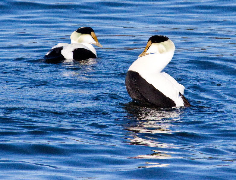 Common Atlantic Eider Drakes, the one on the right is puffing up to look bigger to its competitor in order to attract a hen