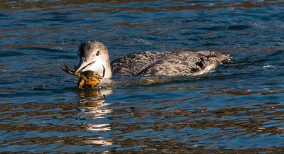 Common Loon, non breeding plumage, January, Phippsburg, Maine. Green crab, an invasive species is the meal.