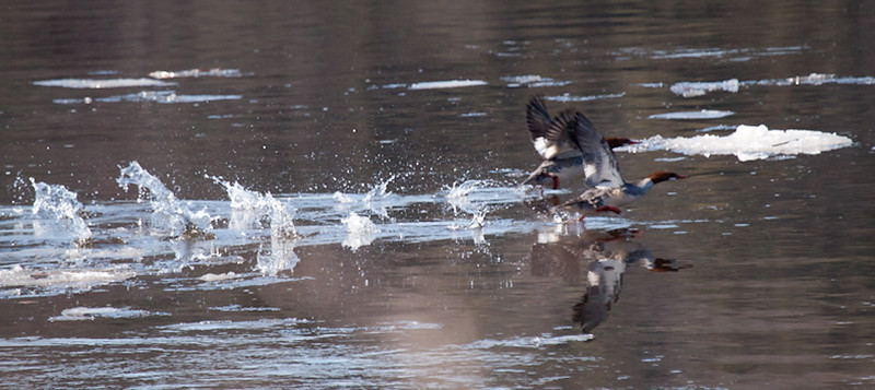 Common Mergansers taking off in flight, Phippsburg, Maine, ice on water of Kennebec River