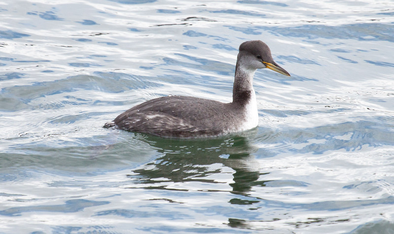 Red Necked Grebe a diving bird, Totman Cove, Phippsburg, Maine winter bird with food