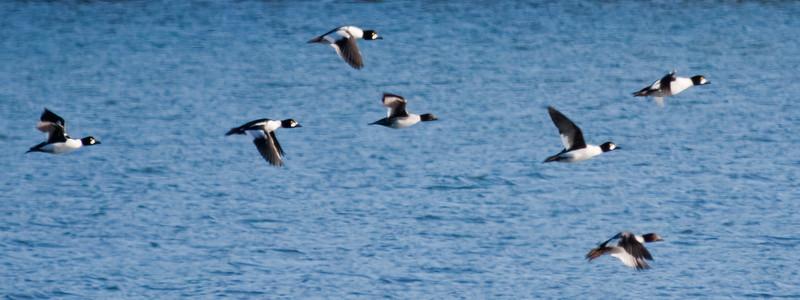Common Goldeneys In Flight