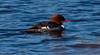 Common Merganser hen, breeding plumage, Maine