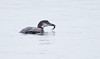 Common Loon eating Crab, side view, water on back, head turned right, diving bird winter, Phippsburg, Maine