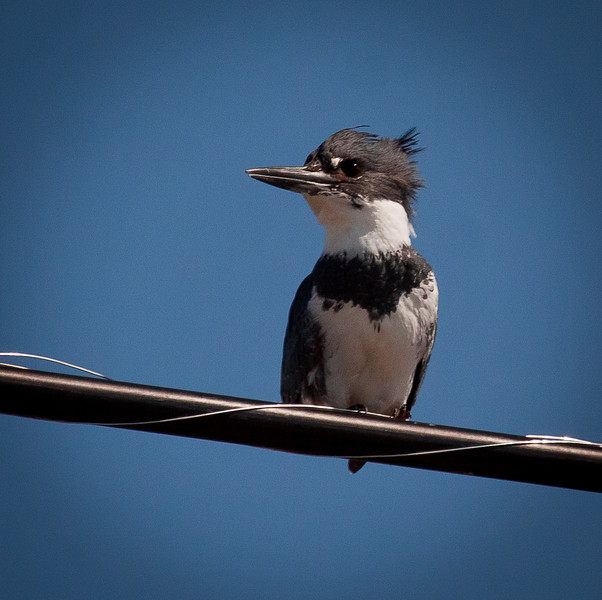 Belted Kingfisher, close up on wire Phippsburg Maine