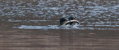 Double Crested Cormorants fighting over huge fish, possibly and eel. I saw a tremendous amount of flapping on the water and saw these two Shags fighting over this enormous fish. Sam Day Hill Road, Phippsburg, Maine, March 2013