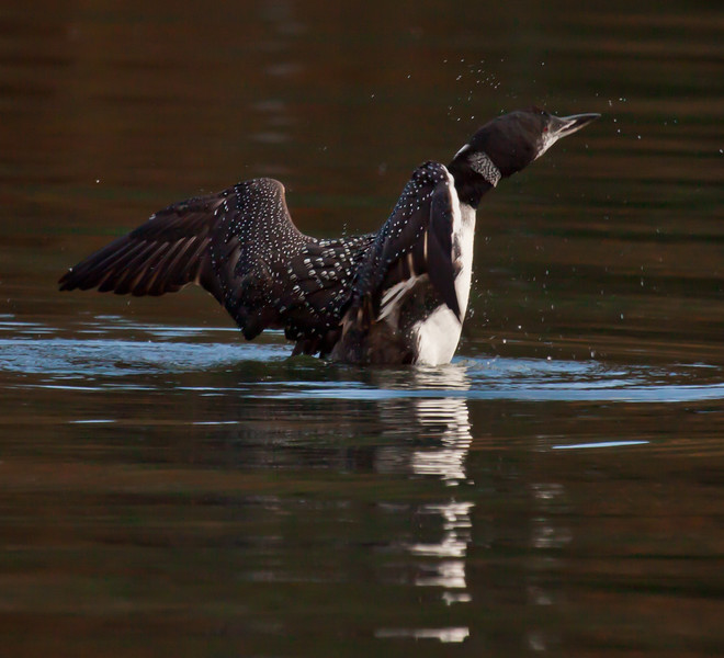 Common Loon wing stretching with reflections, fall, Maine