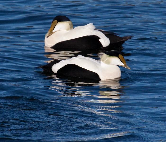 Common Atlantic Eider Drakes