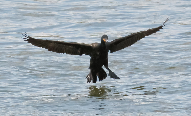 Double-Crested Cormorant Coming In For A Landing