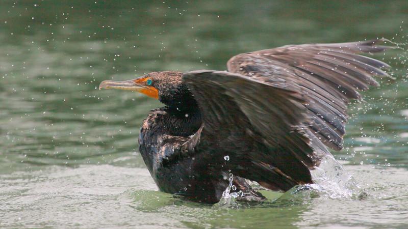 Double-Crested Cormorant Landing