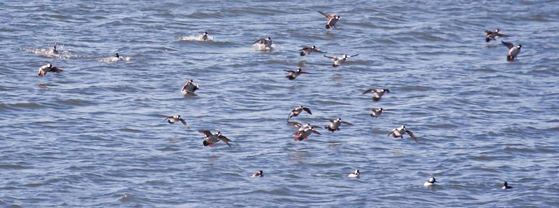 Bufflhead duck flock flying in for landing on Totman Cove, PHippsburg, Maine
