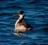 Red-Necked Grebe, side view, left facing, swimming, Sebasco Harbor, Phippsburg, Maine winter diving bird