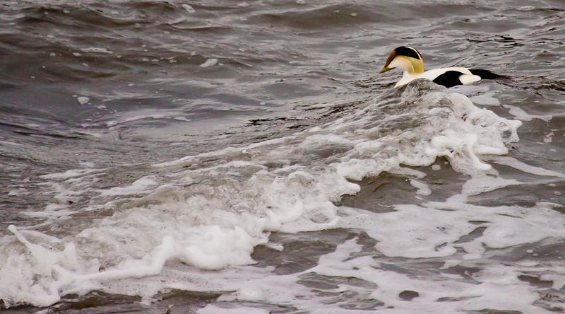 Common eider drake riding surf, Totman Cove, Phippsburg, Maine