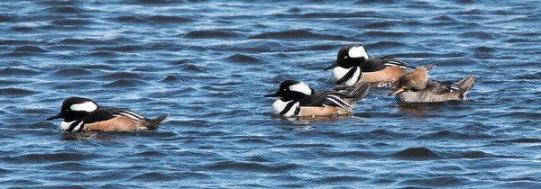 Hooded Mergansers, drakes and hens, Damariscotta Mills, Knox County, Maine in March