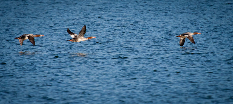 Red-Breasted Mergansers Flying