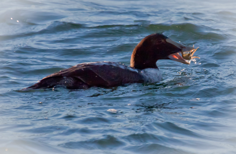 Common Atlantic Eider Eating Crab, immature male, first year bird, Phippsburg, Maine winter diving bird