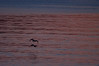 Surf scoters in flight at sunset with sky color reflected in water, PHippsburg, Maine