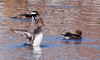 Hooded Merganser Hens And Drake, Breeding Plumage, drake is eating a crab