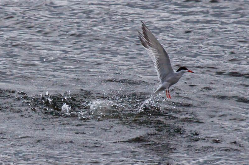 Common tern fishing, PHippsburg, Maine