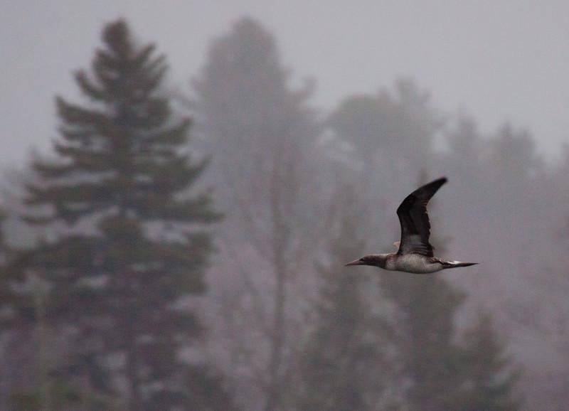 Northern Gannet, Juvenile In Flight, Totman Cove, Phippsburg, Maine, Small Point Harbor, Casco Bay, pelagic bird uncommon this close to shore, winter bird,