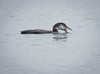 "Common loon eating crab, swallowing, ""Gulp!"" Totman Cove, PHippsburg, Maine, Small Point Harbor, Casco Bay, diving bird"