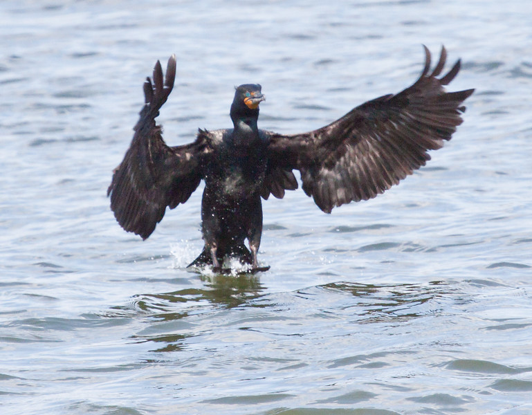 Double Crested cormorant, also called a Shag, coming in for a landing on the water with wings spread. You can just make out the double crests on its head.