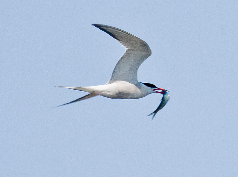 Common Tern With Sand Lances