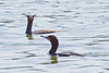 """Double-crested Cormorants with crests up and visible. This is why they are named """"Double Crested"""" cormorants. Kind of goofy looking! Phippsburg, Maine diving bird, migratory"""