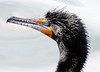 Double-crested Cormorant close up of turquoise eye
