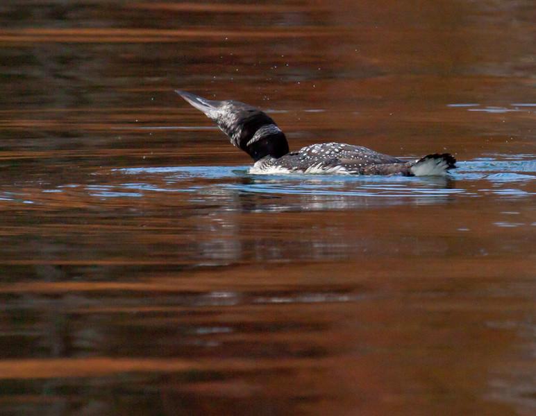 Common Loon On Autumn Water